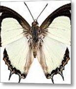 Butterfly Species Polyura Jalysus Metal Print