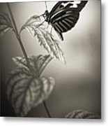 Butterfly Warm Black And White Metal Print