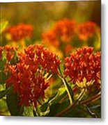 Butterfly Weed In The Sunset Metal Print