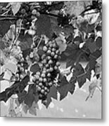 Bw Hanging Thompson Grapes Sultana Poster Look Metal Print