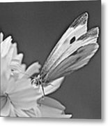Cabbage White Butterfly On Cosmos - Black And White Metal Print