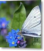 Cabbage White Butterfly On Forget-me-not Metal Print