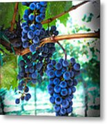 Cabernet Sauvignon Grapes Metal Print by Robert Bales