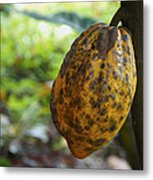 Cacao Plant Metal Print by Aged Pixel