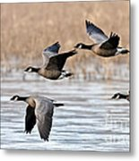 Cackling Geese Flying Metal Print