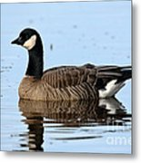 Cackling Goose In Water Metal Print