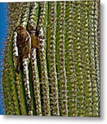 Cactus Wren With Offspring In A Saguaro Cactus In Tucson Sonoran Desert Museum-arizona Metal Print