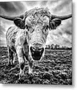 Cadzow White Cow Female Metal Print by John Farnan