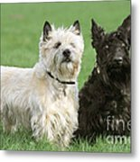 Cairn Terrier And Scottish Terrier Metal Print