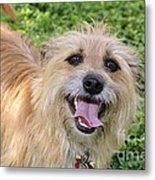 Cairn Terrier Metal Print by Andres LaBrada