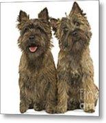 Cairn Terriers Metal Print