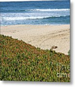 California Beach With Ice Plant Metal Print by Carol Groenen