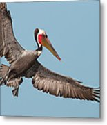 California Brown Pelican With Stretched Wings Metal Print