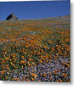 California Gold Poppies And Baby Blue Eyes Metal Print