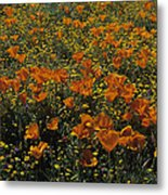 California Gold Poppies Metal Print
