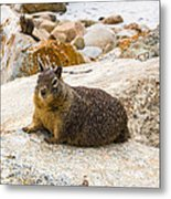 California Ground Squirrel With Sandy Nose Metal Print