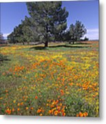 California Poppy And Eriophyllum Metal Print