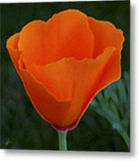 California Poppy Spectacular Metal Print