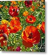 California Poppy's Metal Print