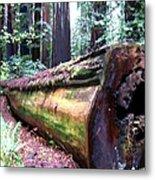 California Redwoods 2 Metal Print