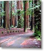 California Redwoods 3 Metal Print