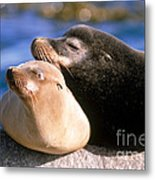 California Sea Lions Metal Print by Mark Newman