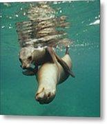 California Sea Lions Playing Sea Metal Print