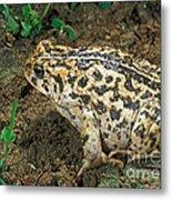 California Toad Bufo Boreas Halophilus Metal Print