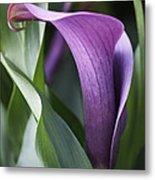 Calla Lily In Purple Ombre Metal Print