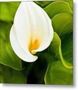 Calla Lily Plant Metal Print