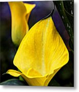 Calla Lily Portrait In Yellow And Green Metal Print