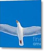Calling Herring Gull Flying In Blue Sky Metal Print