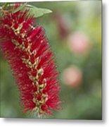 Callistemon Citrinus - Crimson Bottlebrush Metal Print