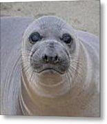 Cambria Baby Seal Metal Print