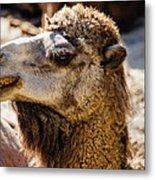 Camel Loose Lip Metal Print