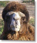 Camel Face Metal Print