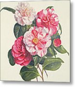 Camelias Metal Print by Augusta Innes Withers