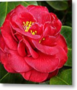 Camellia Japonica ' Dixie Knight ' Metal Print