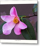 Camellia 'tulip Time' Metal Print by Saxon Holt