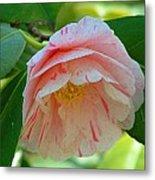 Camellia White With Pink Stripes Metal Print