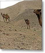 Camels At The Israel Desert -2 Metal Print