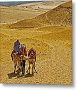 Camels Nuzzling On The Giza Plateau-egypt  Metal Print
