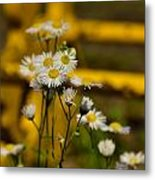 Camomille Metal Print