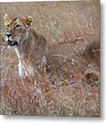 Camouflaged Female Lion In Grass Metal Print