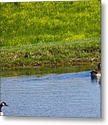 Canada Geese And Goslings Metal Print