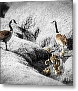 Canada Geese Family Metal Print