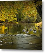 Canada Geese In Autumn Swimming On The Thornapple River Metal Print