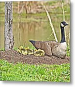 Canada Goose And Goslings Metal Print