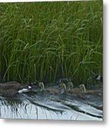 Canada Goose Family   #7453 Metal Print