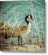 Canada Goose Metal Print by Gerald Murray Photography